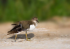 Sand piper Stock Image