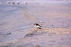 Sand Piper on the Beach Royalty Free Stock Images