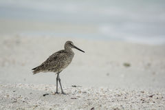 Sand piper on beach Royalty Free Stock Images