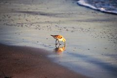 Sand Piper on beach. Sand Piper on wet sand Florida beach, rolling tide waters with soft blue evening shadows Stock Image