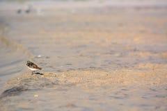 Sand Piper Bird on the Beach Royalty Free Stock Photos
