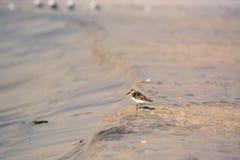 Sand Piper Bird on the Beach Stock Photos
