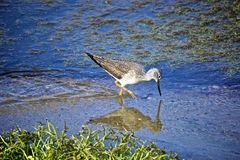 Sand piper bird. Long legged sandpiper bird searches for food with its long beak in the river bed in California Stock Photography
