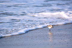 Sand Piper Bird Running from Water Stock Image