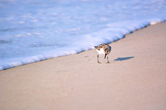 Sand Piper Bird Running from Water. Sand Piper bird runs away from the ocean water Stock Photography