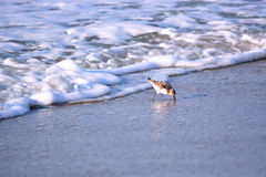 Sand Piper Bird Running from Water. Sand Piper bird runs away from the ocean water while searching for food in the sand Stock Images