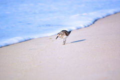 Sand Piper Bird Running from Water. Sand Piper bird runs away from the ocean water while searching for food in the sand Royalty Free Stock Images