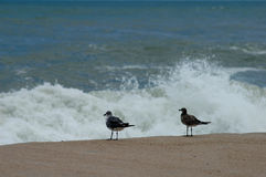 Sand piper birds Stock Photo