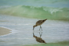 Sand piper eating in surf Stock Photography