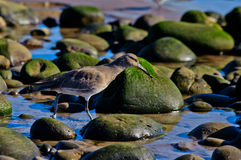 Sand Piper foraging in the tide pools for food Royalty Free Stock Photos