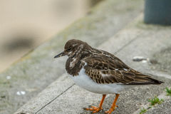 Sand piper Stock Photography