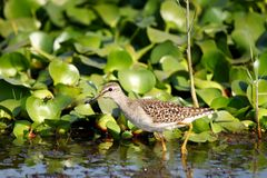Sand piper, looking for fish in Asian Sanctuary royalty free stock images