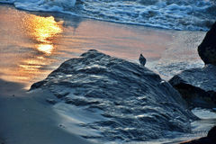 Sand Piper at Ocean`s Edge at Sunrise. A sand piper bird stands along the ocean`s edge and rocky jetty in search of food in the sand at sunrise Stock Image