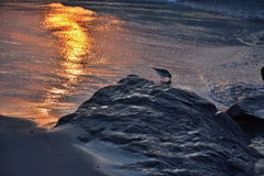 Sand Piper at Ocean`s Edge at Sunrise. A sand piper bird stands along the ocean`s edge and rocky jetty in search of food in the sand at sunrise Stock Photos