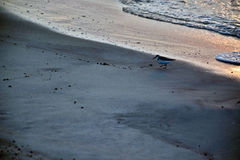 Sand Piper at Ocean`s Edge at Sunrise. A sand piper bird stands along the ocean`s edge in search of food in the sand at sunrise Stock Photos