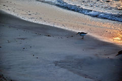 Sand Piper at Ocean`s Edge at Sunrise. A sand piper bird stands along the ocean`s edge in search of food in the sand at sunrise Stock Images