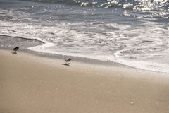Sand piper Royalty Free Stock Photo