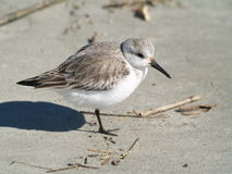 Sand Piper Stock Photo