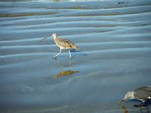 Sand Piper Reflection and Sea Gull Eating Stock Photo