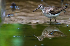 Sand Piper Stock Images