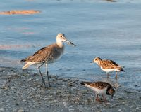 Sand Piper on the sea shore. Of the Gulf of Mexico Stock Photography