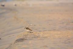 Sand Piper Standing im Sand Stockbild