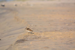 Sand Piper Standing in the Sand Stock Image