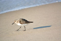 Sand Piper Walking by on Beach Stock Image