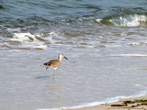 Sand piper walking in the ocean Royalty Free Stock Photography