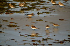 Sand pipers at Cape Codon the beach Stock Photography