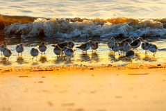 Sand pipers Royalty Free Stock Photos