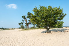Sand plain with trees in summertime Royalty Free Stock Image