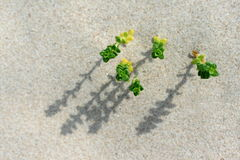 Sand Plants Stock Images