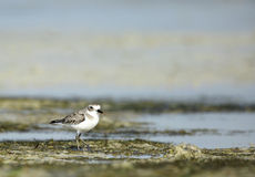 Sand Plover Stock Image