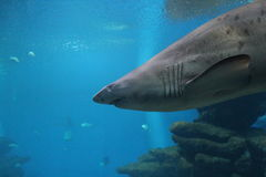 Sand reef shark Royalty Free Stock Photography