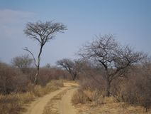 Sand road though african bush under blue sky. A lonely sand road in african savannah winding through african bush veld under blue sky. Dry desert vegetation royalty free stock image