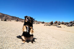 Sand and Rocks Desert. Dog and Sand and Rocks Desert on Teide Volcano, in Canary Islands, Spain Royalty Free Stock Images