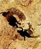 Gladiator and tiger fighting stock illustration