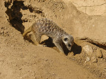Sand of Sahara in the midday with meerkats. Meerkat digs a cave Royalty Free Stock Photography