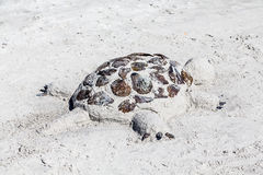 Sand Sculpture of a Turtle on a Beach Royalty Free Stock Image