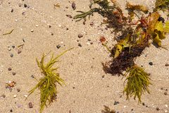 Sand and seaweed background Royalty Free Stock Photography