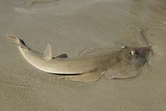Sand shark. On the beach in shallow water Stock Photography