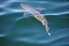 Sand Shark swimming in the ocean. Sand Shark swimming in a calm ocean with fins outstretched royalty free stock photos