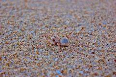 Sand Spider Royalty Free Stock Images
