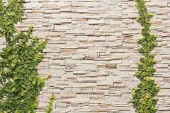 Sand stone wall with vine Royalty Free Stock Images
