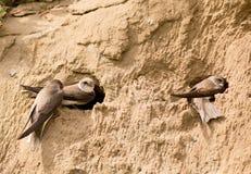 Sand-svalor royaltyfri fotografi