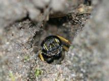 Sand Tailed Digger Wasp (den Cerceris arenariaen) royaltyfria foton