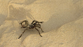 Sand tarantula Stock Photo