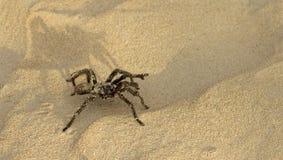 Sand tarantula Stock Photo