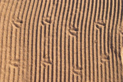 Sand Texture. A background of a sand texture with bird footprints on it Royalty Free Stock Image